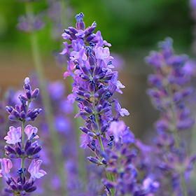 Lavender: Sow and Grow Guide