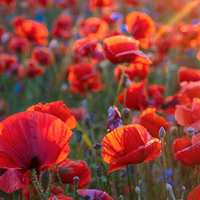 Poppy Sow And Grow Guide Articles Blogs Botanical Interests