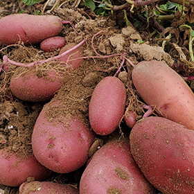 Potato: Sow and Grow Guide
