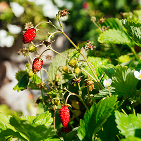Strawberry: Sow and Grow Guide