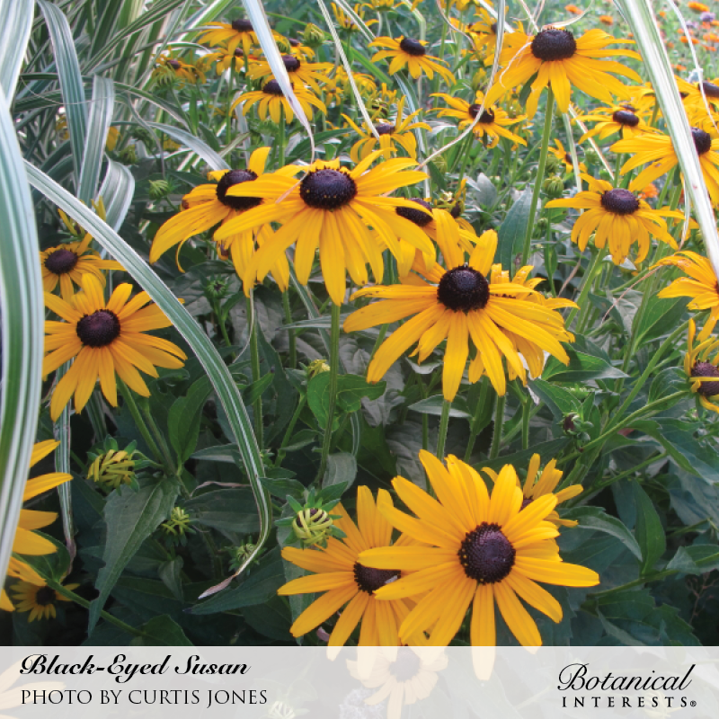 Black-Eyed Susan Seeds       view 4