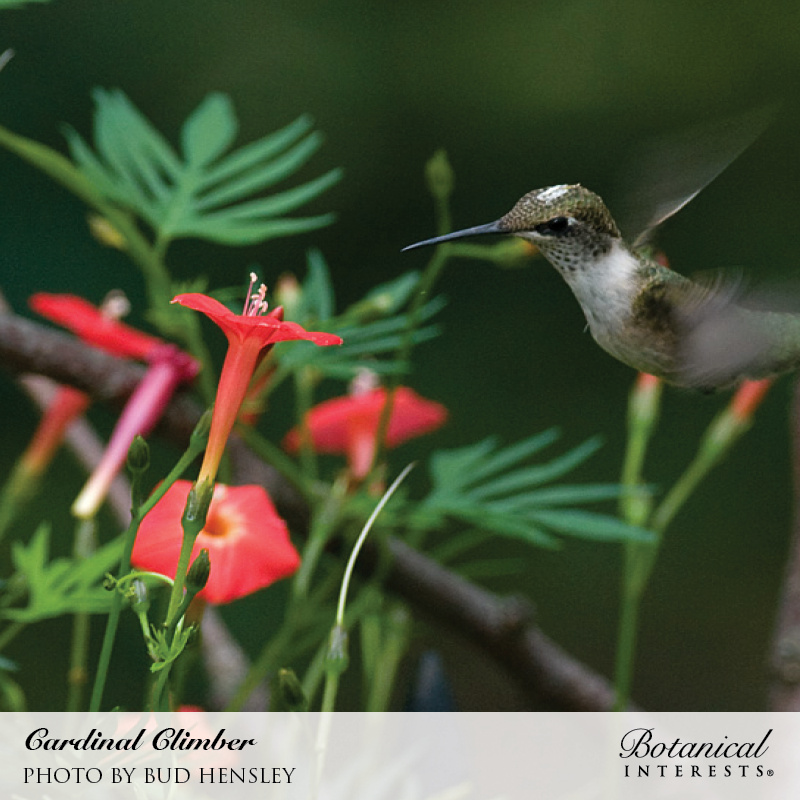 cardinal climber seeds  heirloom flowers botanical interests