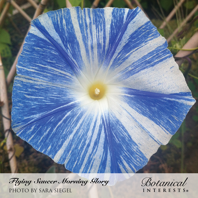 Flying Saucer Morning Glory Seeds     view 4