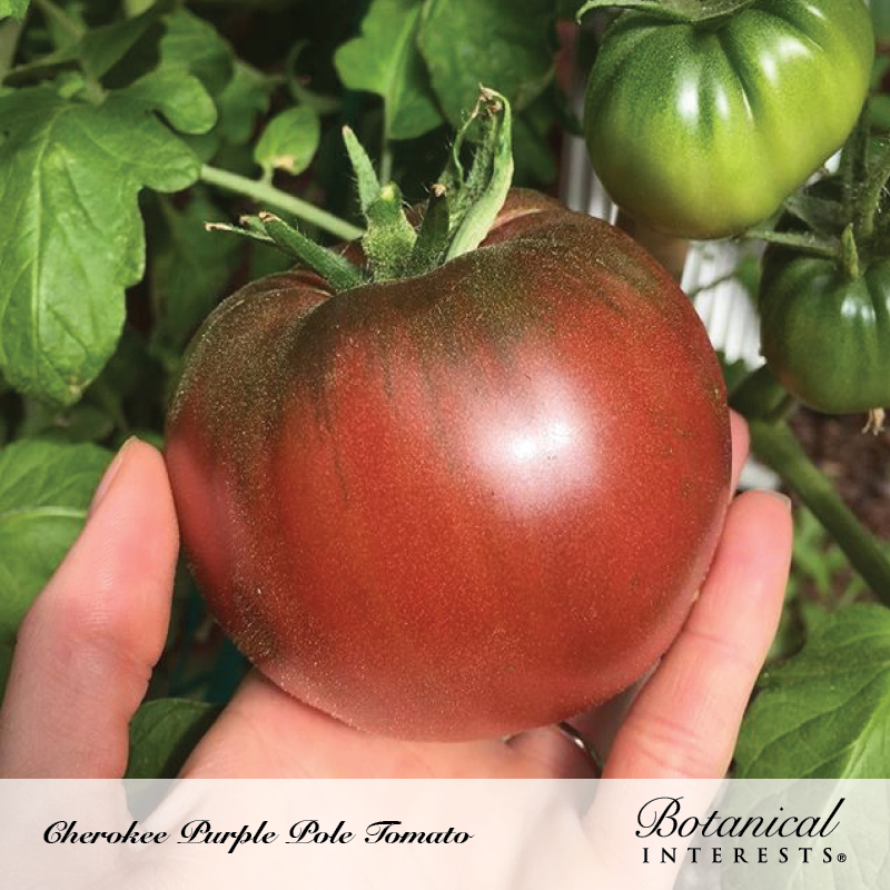 Cherokee Purple Pole Tomato Seeds