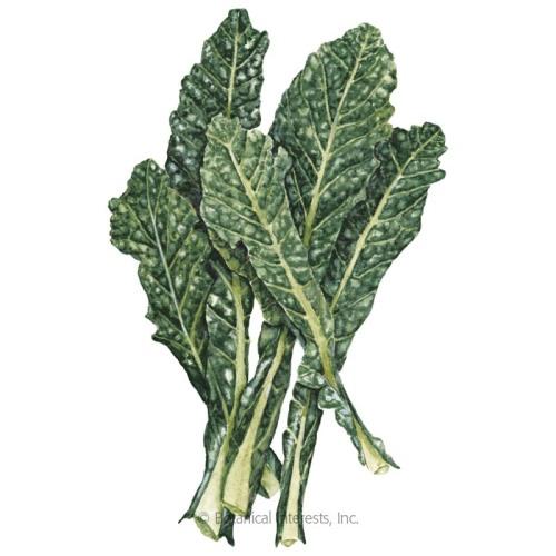 Nero Toscana Kale Seeds - New Size