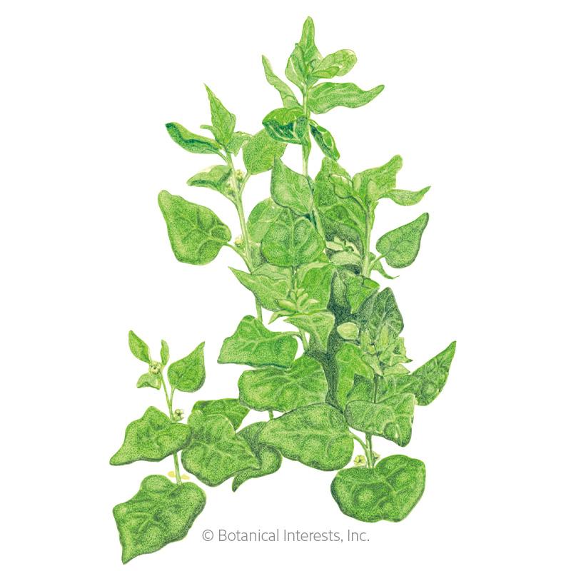 30-12,800 Seeds Tetragonia Bulk Drought /& Heat tolerant OP New Zealand Spinach