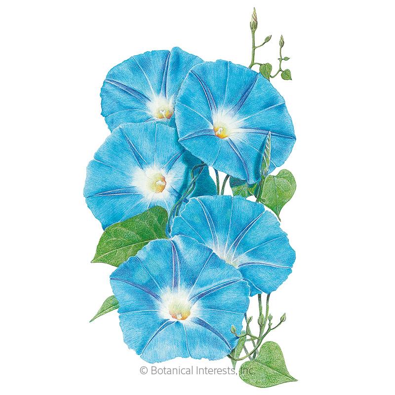 Heavenly Blue Morning Glory Flower Vine Untreated Seeds   bin277C