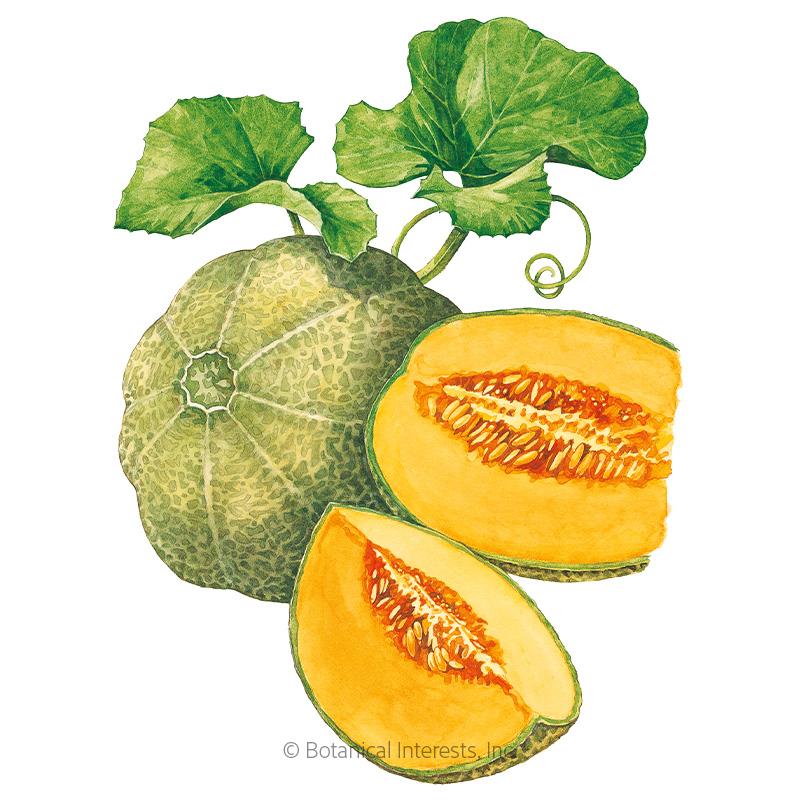 minnesota midget cantaloupe muskmelon melon seeds view all