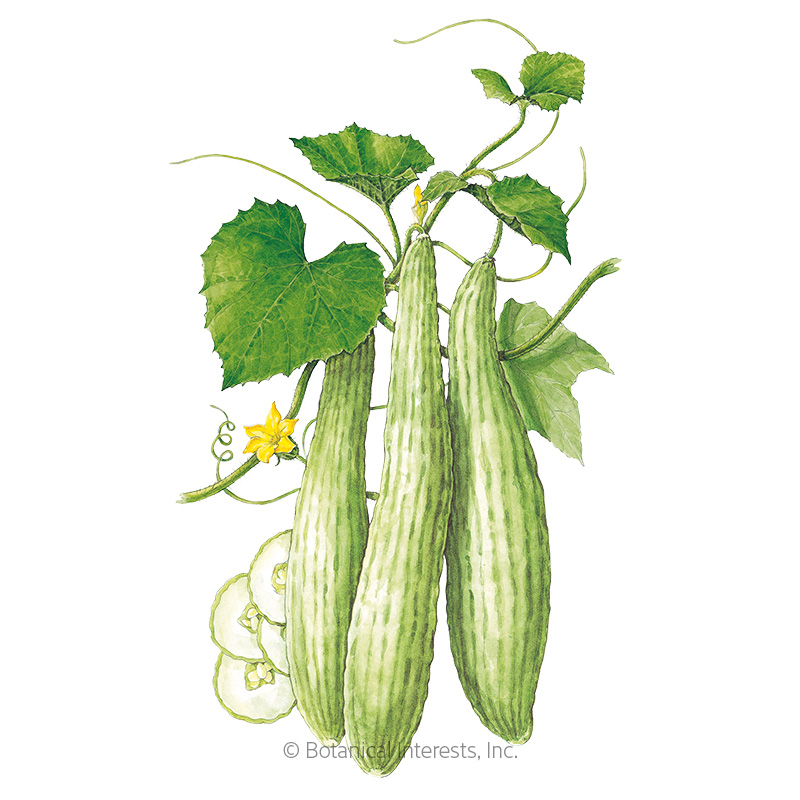 Armenian Cucumber Seeds