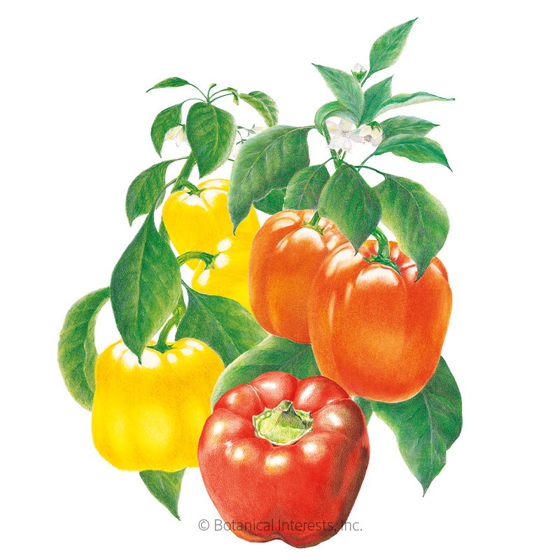 YELLOW 15 SWEET PEPPER SEEDS ORGANIC RED 3 COLORS FROM SAME PLANT ORANGE