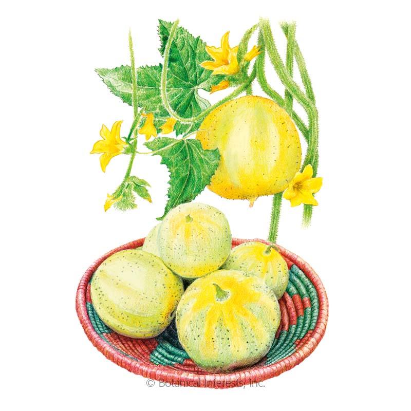 Lemon Cucumber Seeds Cucumber Seeds