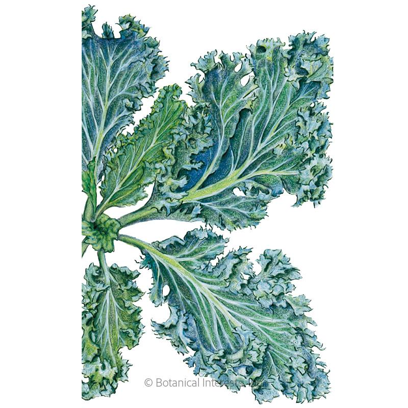 Dwarf Blue Curled Kale Seeds