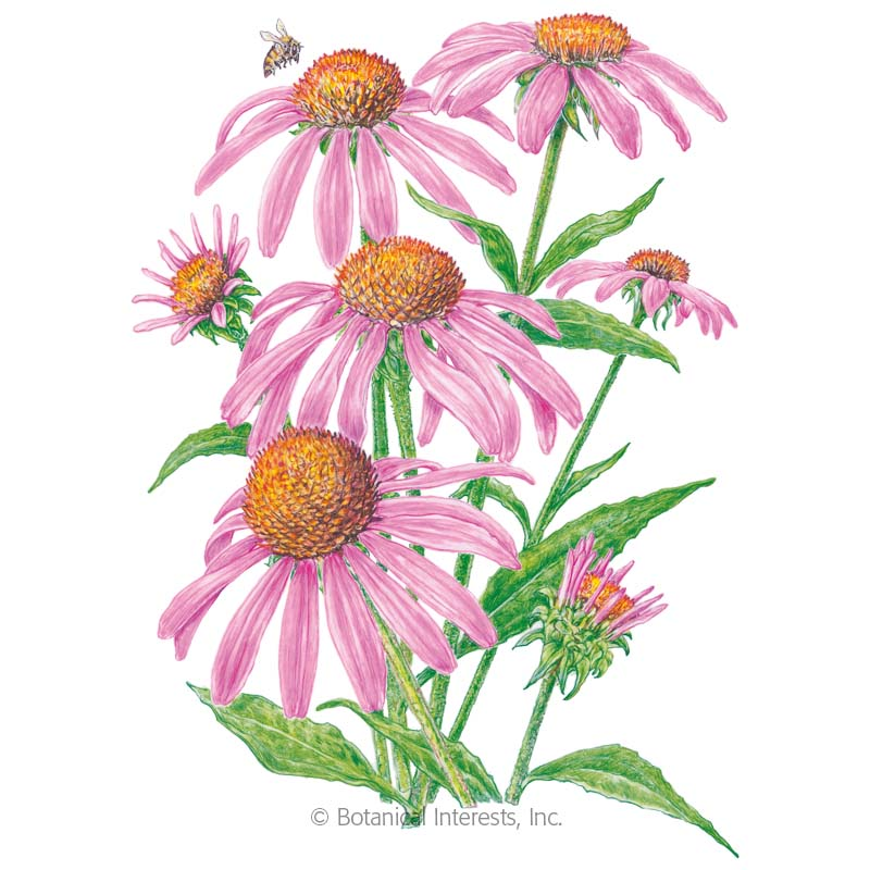 Purple Coneflower Echinacea Seeds