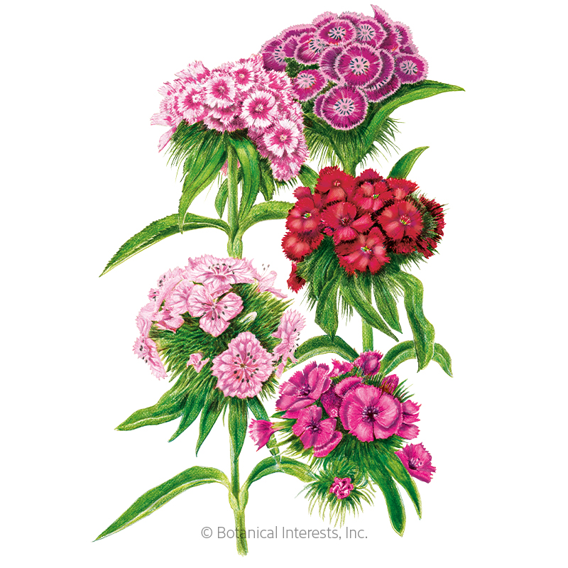 Double Blend Sweet William Seeds