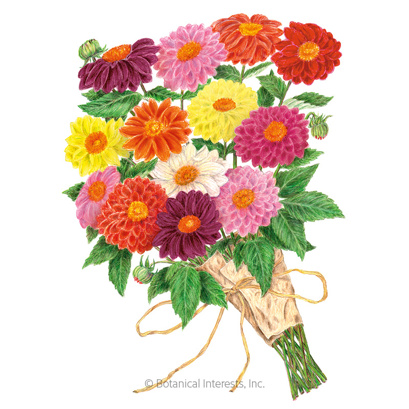 Decorative Double Blend Dahlia Seeds view 1