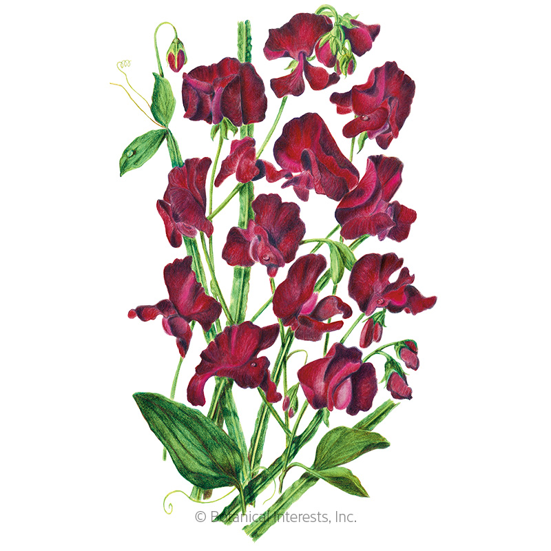 Beaujolais Sweet Pea Seeds View All Flowers Botanical Interests