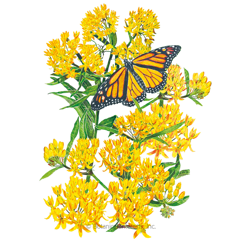 Hello Yellow Milkweed/Butterfly Flower Seeds