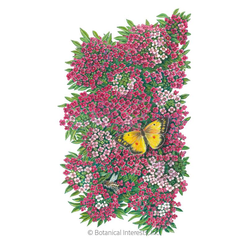 Rosie O'Day Sweet Alyssum Seeds