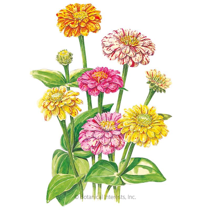 How to Make a Paper Zinnia Flower   Paper flower tutorial, Paper ...   800x800