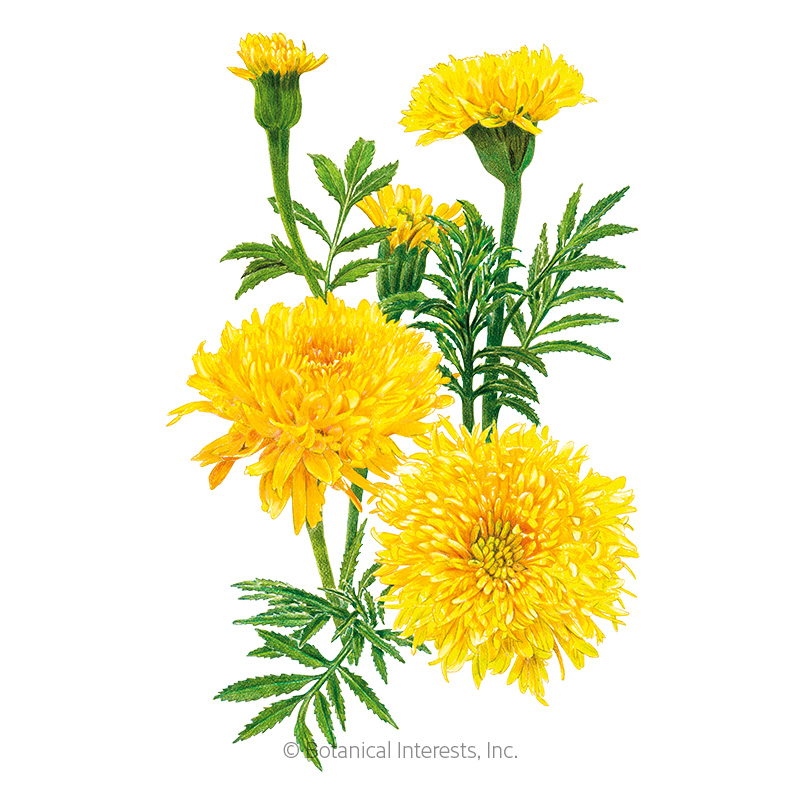 Phyllis African Marigold Seeds - New