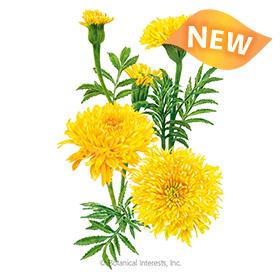 Phyllis African Marigold Seeds