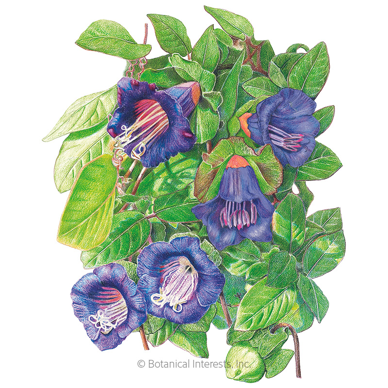 Blue Cathedral Bells Cup and Saucer Vine Seeds