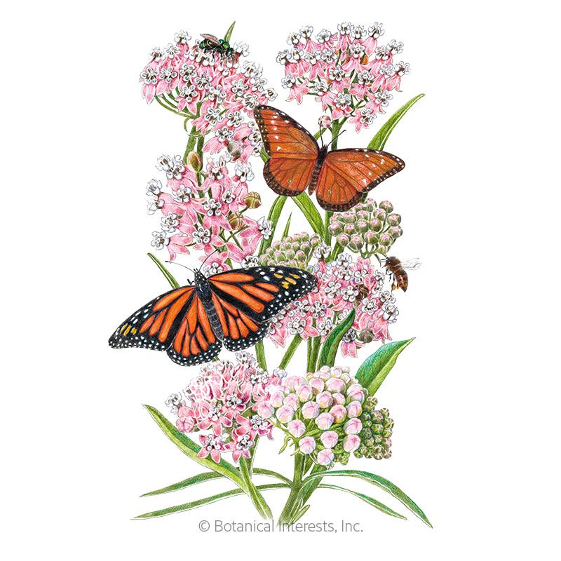 Narrowleaf Milkweed/Butterfly Flower Seeds