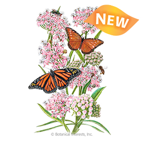 Narrowleaf Milkweed/Butterfly Flower Seeds