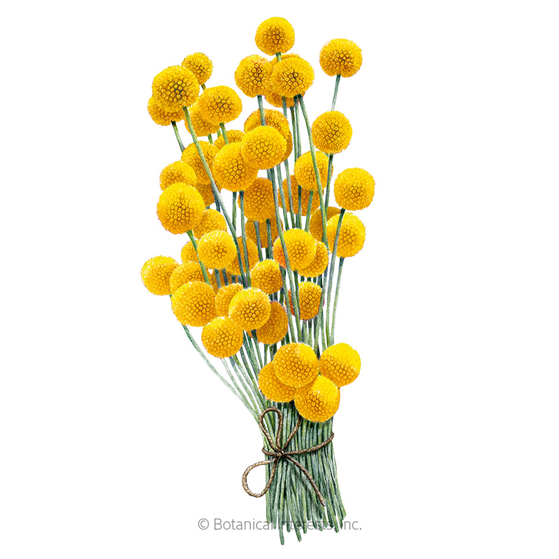 Drumstick Flower Craspedia Seeds