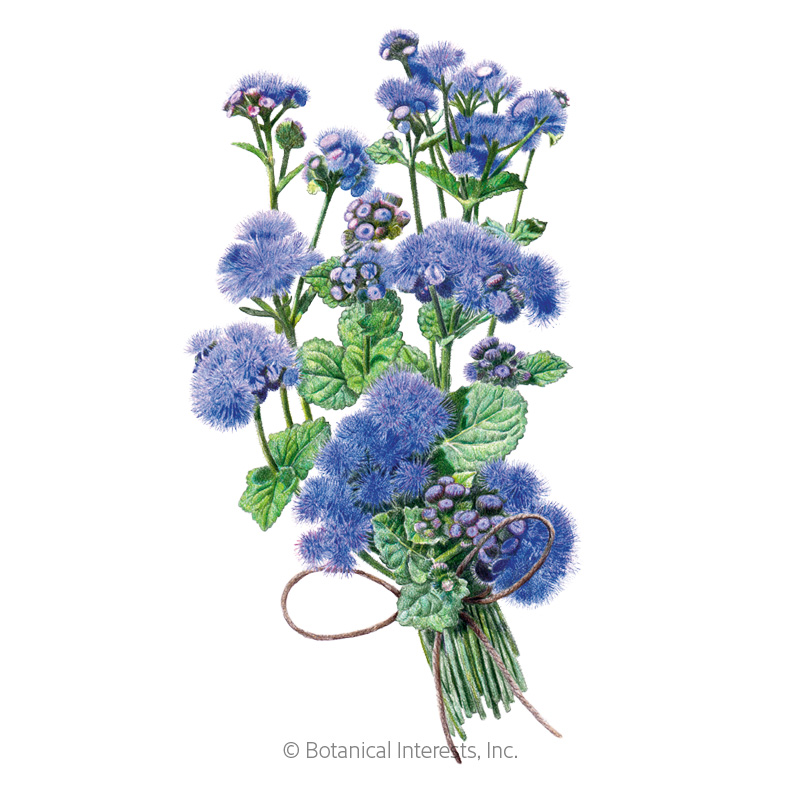 Blue Planet Ageratum  Seeds