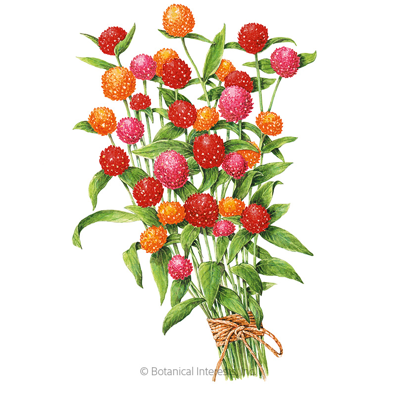 QIS Fiery Sunrise Blend Gomphrena Seeds