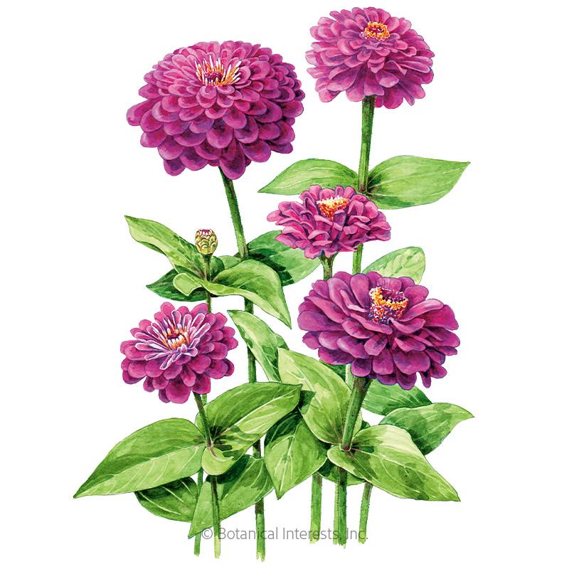 Giant Purple Zinnia Seeds Flowers Botanical Interests