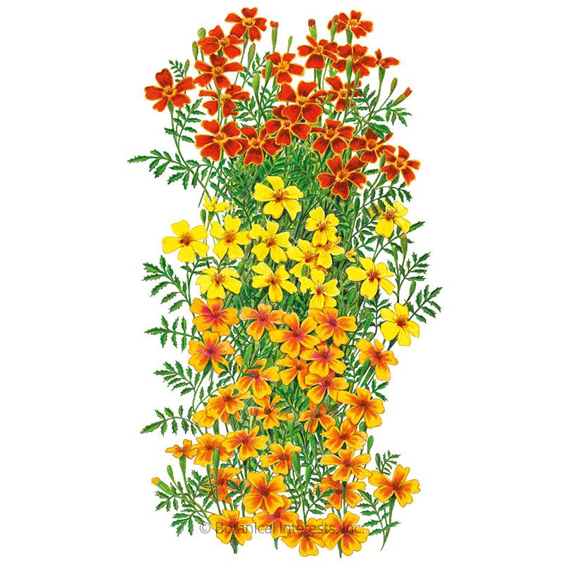 Gem Blend Signet Marigold Seeds