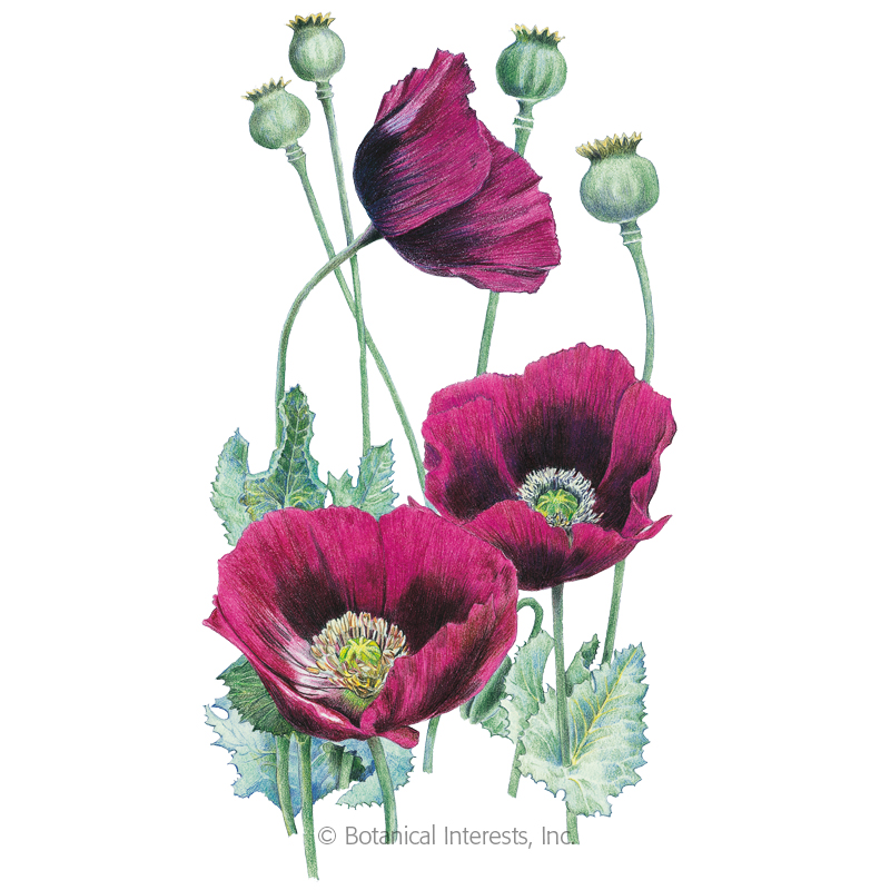 Lauren S Grape Poppy Seeds View All Flowers Botanical Interests