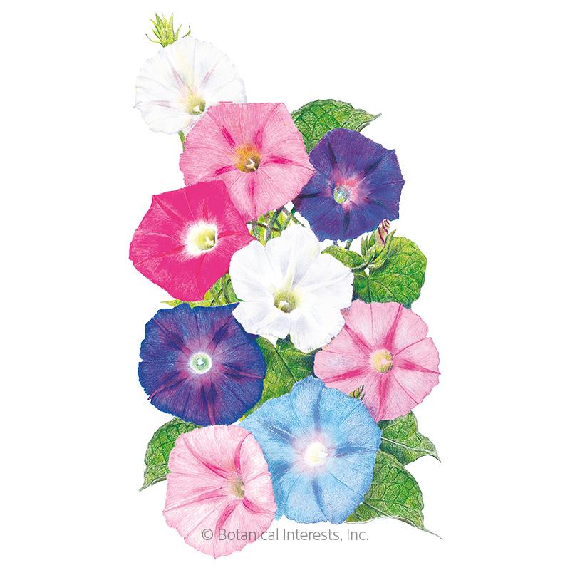 Pinwheel Blend Morning Glory Seeds
