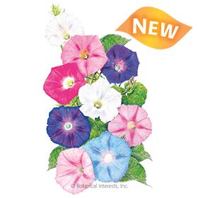 Pinwheel Blend Morning Glory Seeds - New