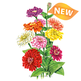 Benary's Giant Blend Zinnia seeds