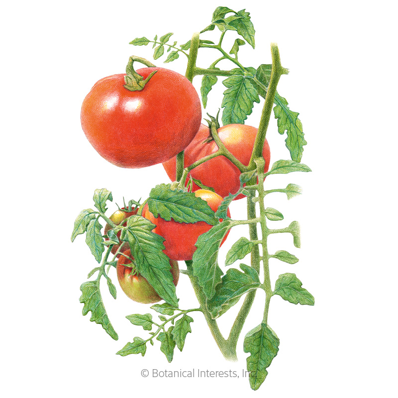 Moskvich Pole Tomato Seeds