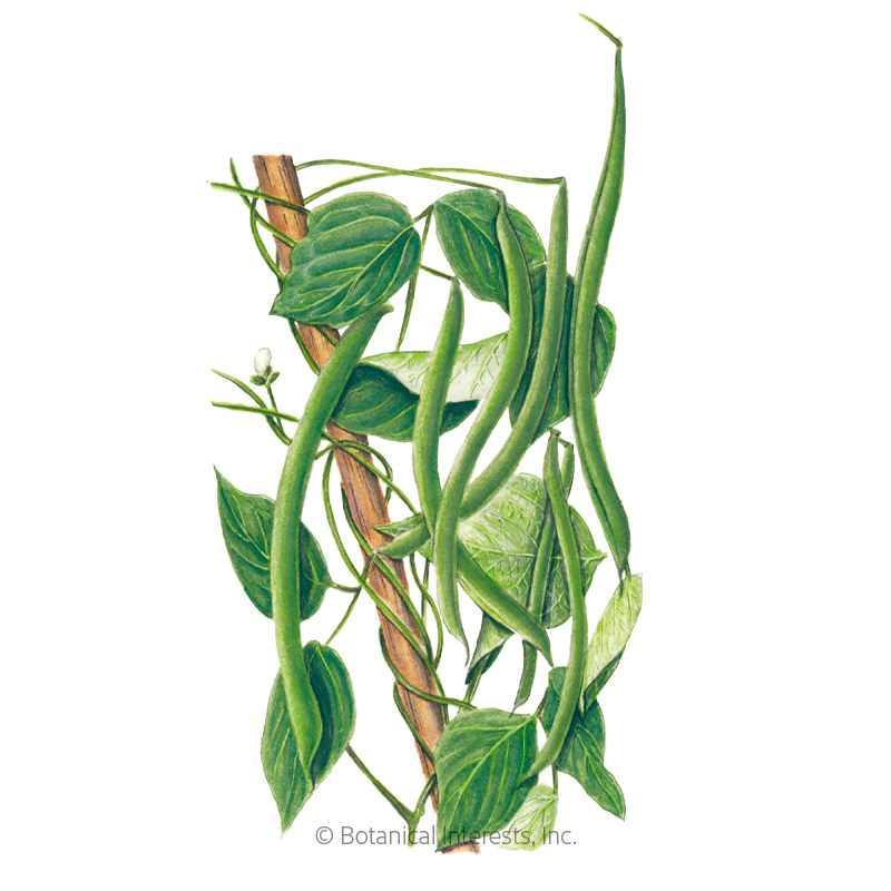Blue Lake FM-1K Pole Bean Seeds