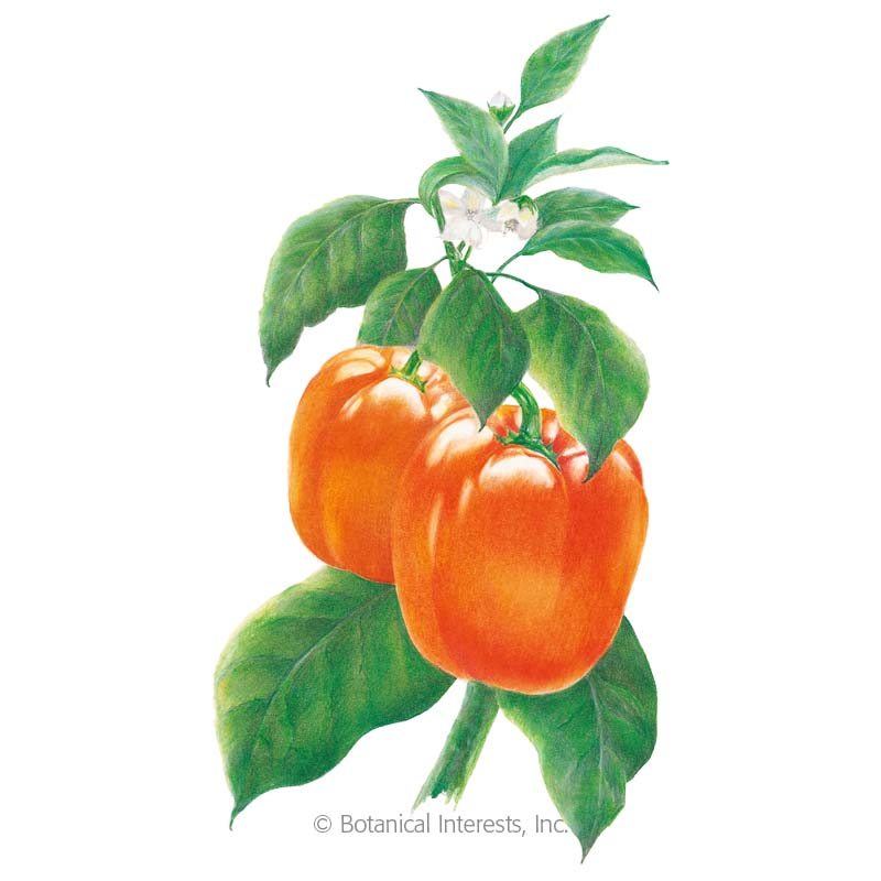 Orange Sun Sweet Pepper