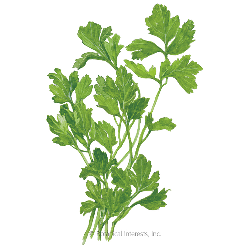Giant of Italy Parsley Seeds