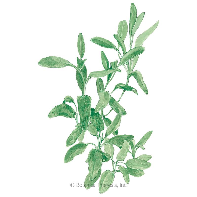 Broadleaf Sage Seeds