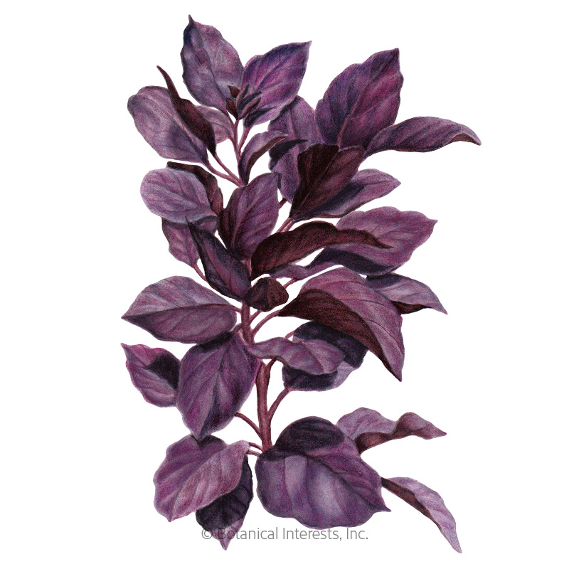 Purple Petra Basil Seeds