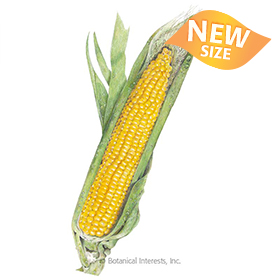 Buttergold Sweet Corn Seeds
