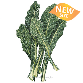 Nero Toscana Kale Seeds - New Size