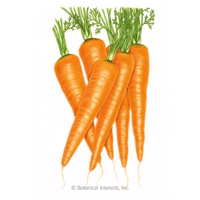 Danvers 126 Carrot Seeds View All Vegetables Botanical Interests