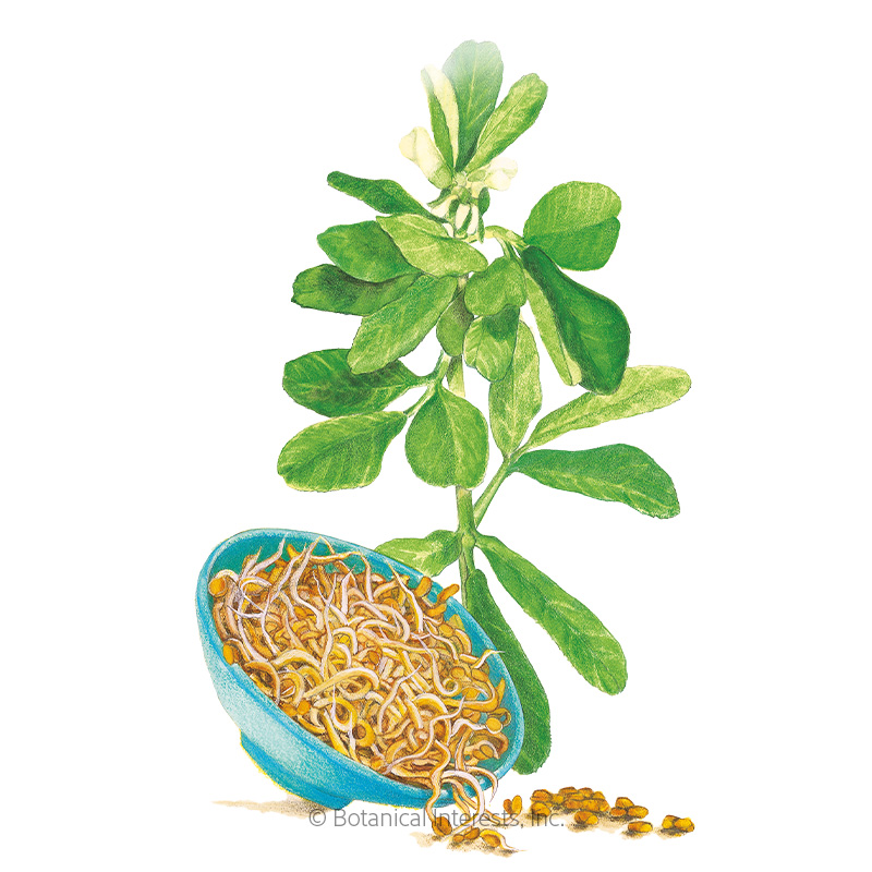 Fenugreek Sprouts Seeds