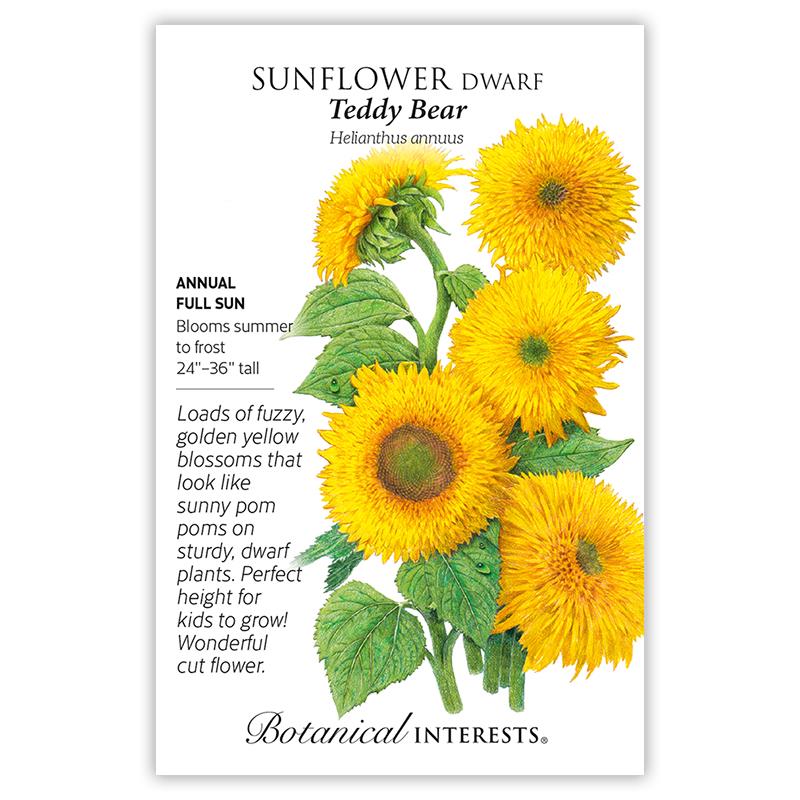 50 Teddy Bear Dwarf Sunflower Flower Seeds Helianthus annus Attract Bees /& Birds