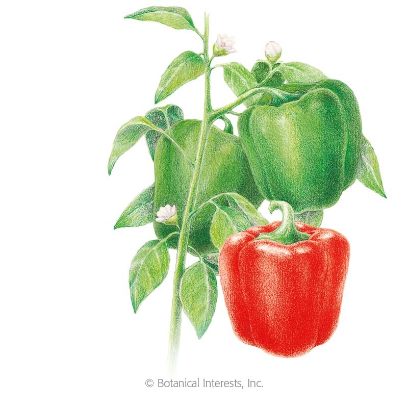 Yolo Wonder Sweet Pepper Seeds