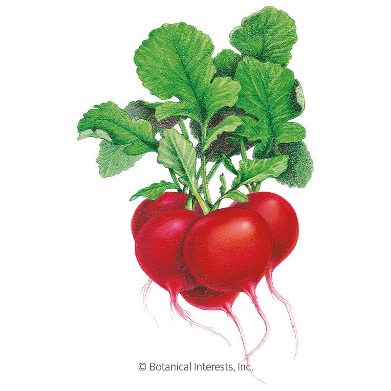 Crimson Giant Radish Seeds